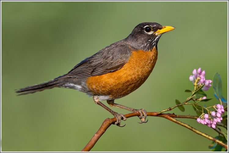 The American Robin Is The Symbol Of Michigans State Bird It Is A