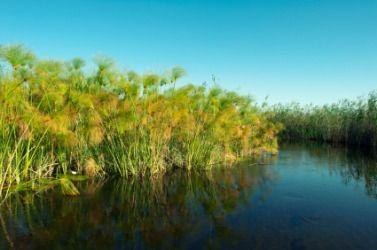 Papyrus growing along the river bank. | Papyrus, River ...
