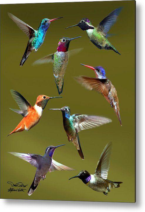 Hummingbird Collage Metal Print by David Salter