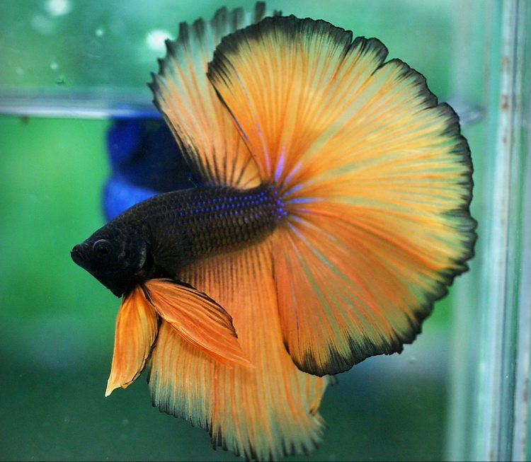 A list of all the types of Betta fish and the unique characteristics of each fish type! #typebettafish