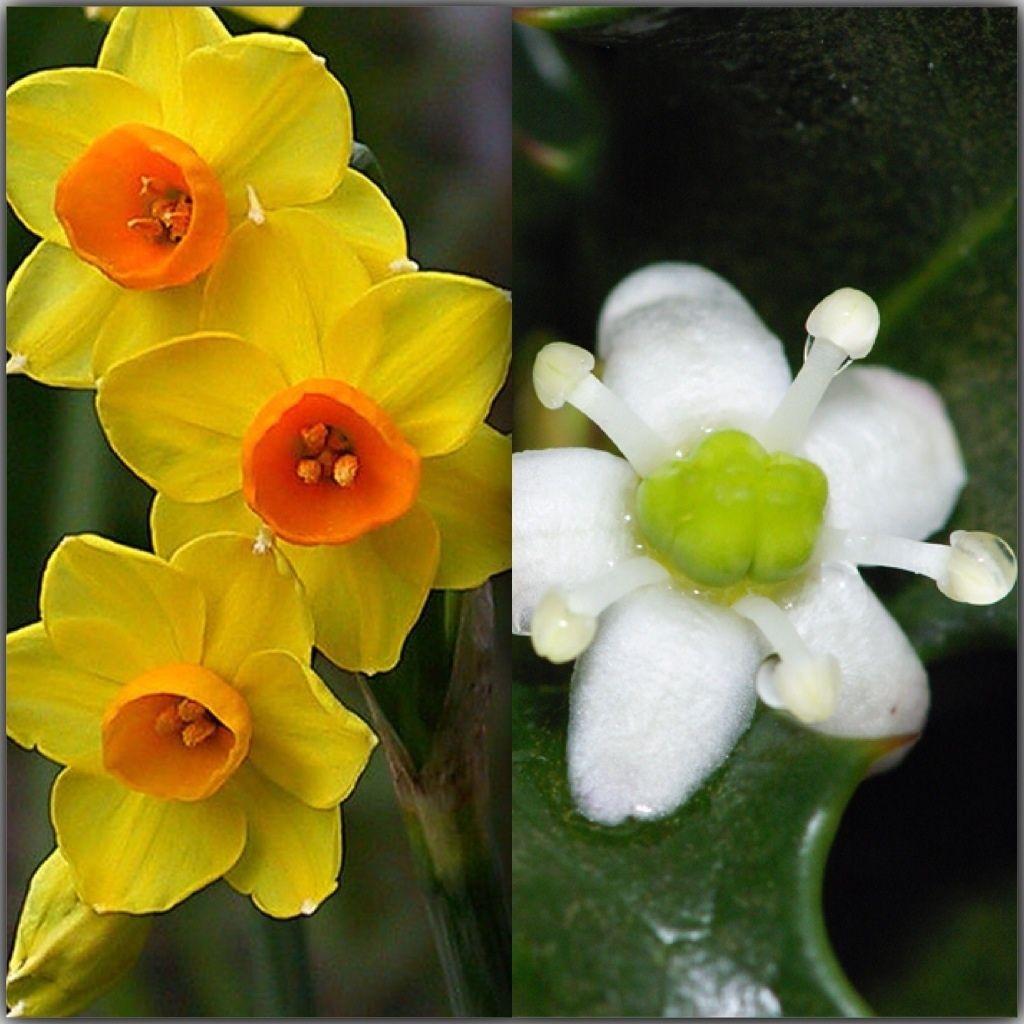 December birth month flower's Birth flowers, Birth month
