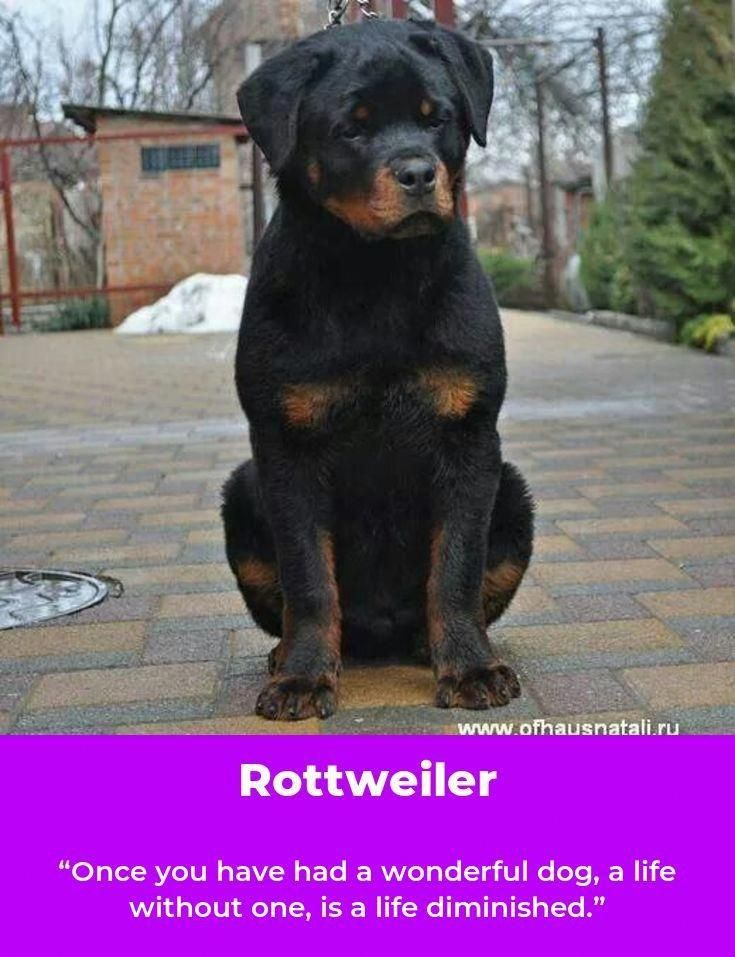 Discover The Confident Rottweiler Puppies And Kids Rottweilermix