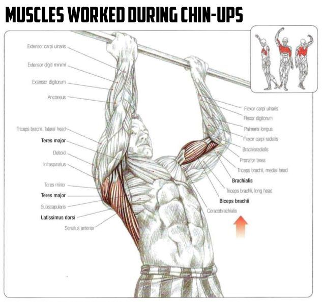 chin up muscles worked diagram - Google Search | Exercise anatomy ...