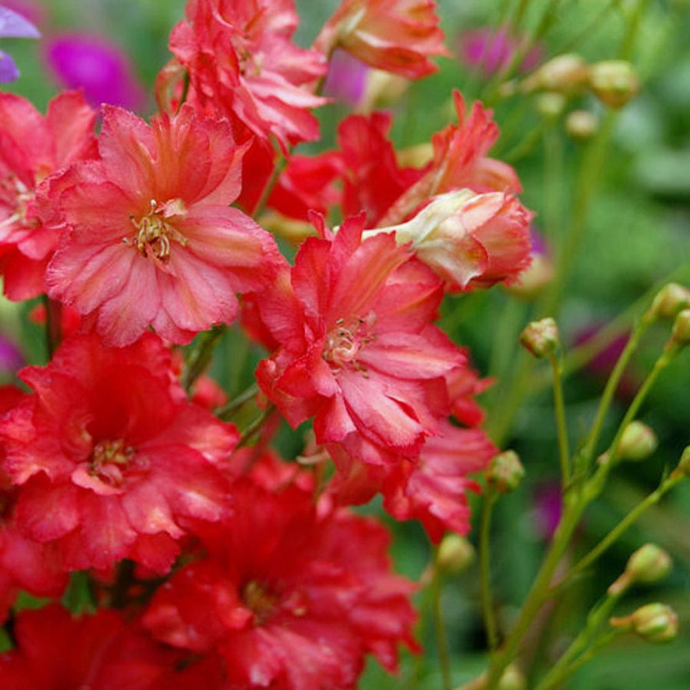 30 Seeds RED Delphinium Flower Seeds . . . Long Lasting Perennial ...