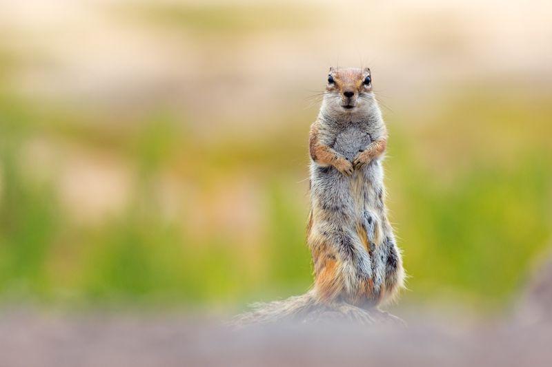 Barbary-ground-squirrel.jpg (800×533)