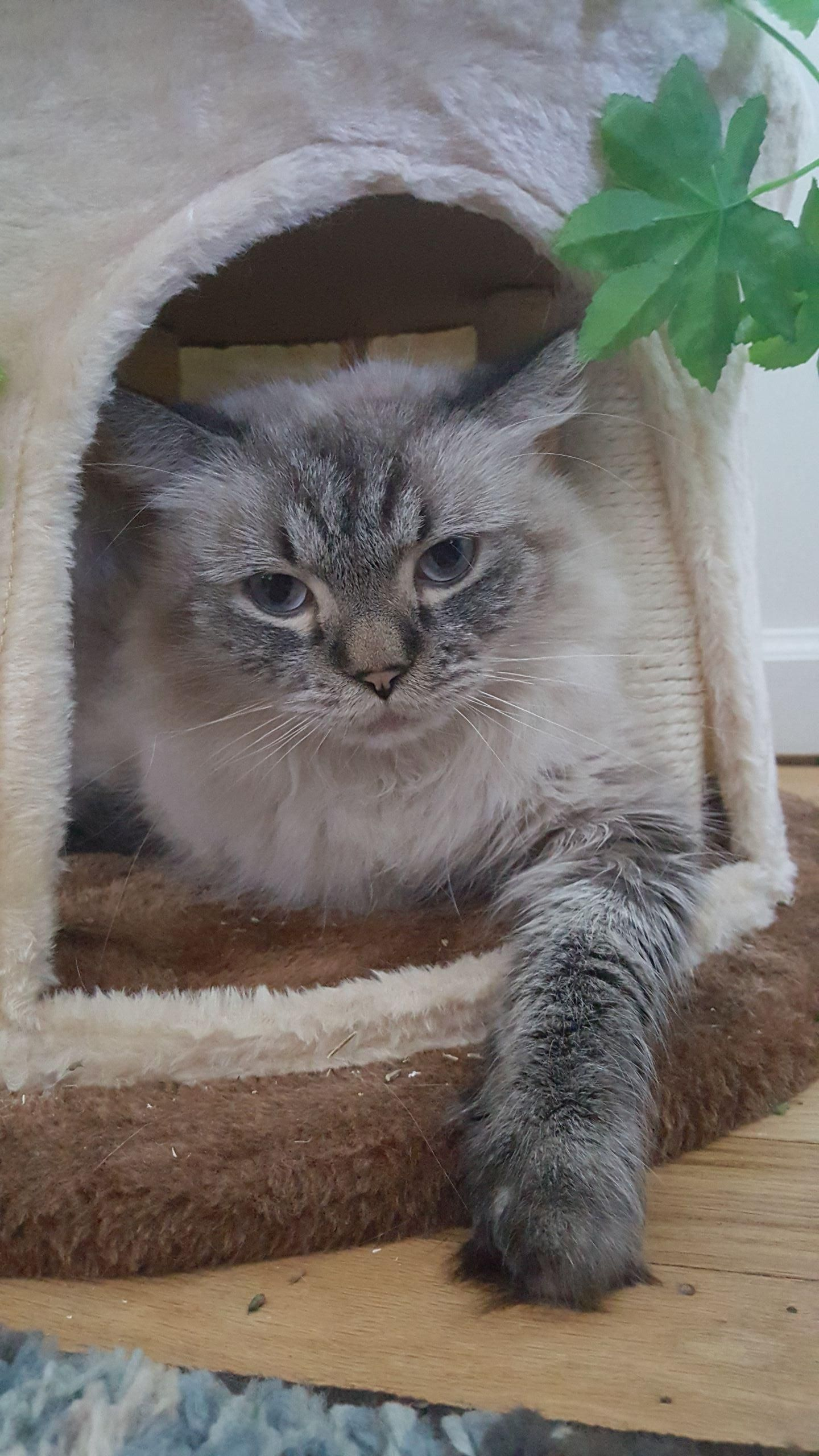 Can someone help me figure out what breed my cat is