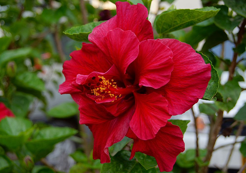 Hibiscus Rosa Sinensis Double Red Tropical Bullhit Hibiscus