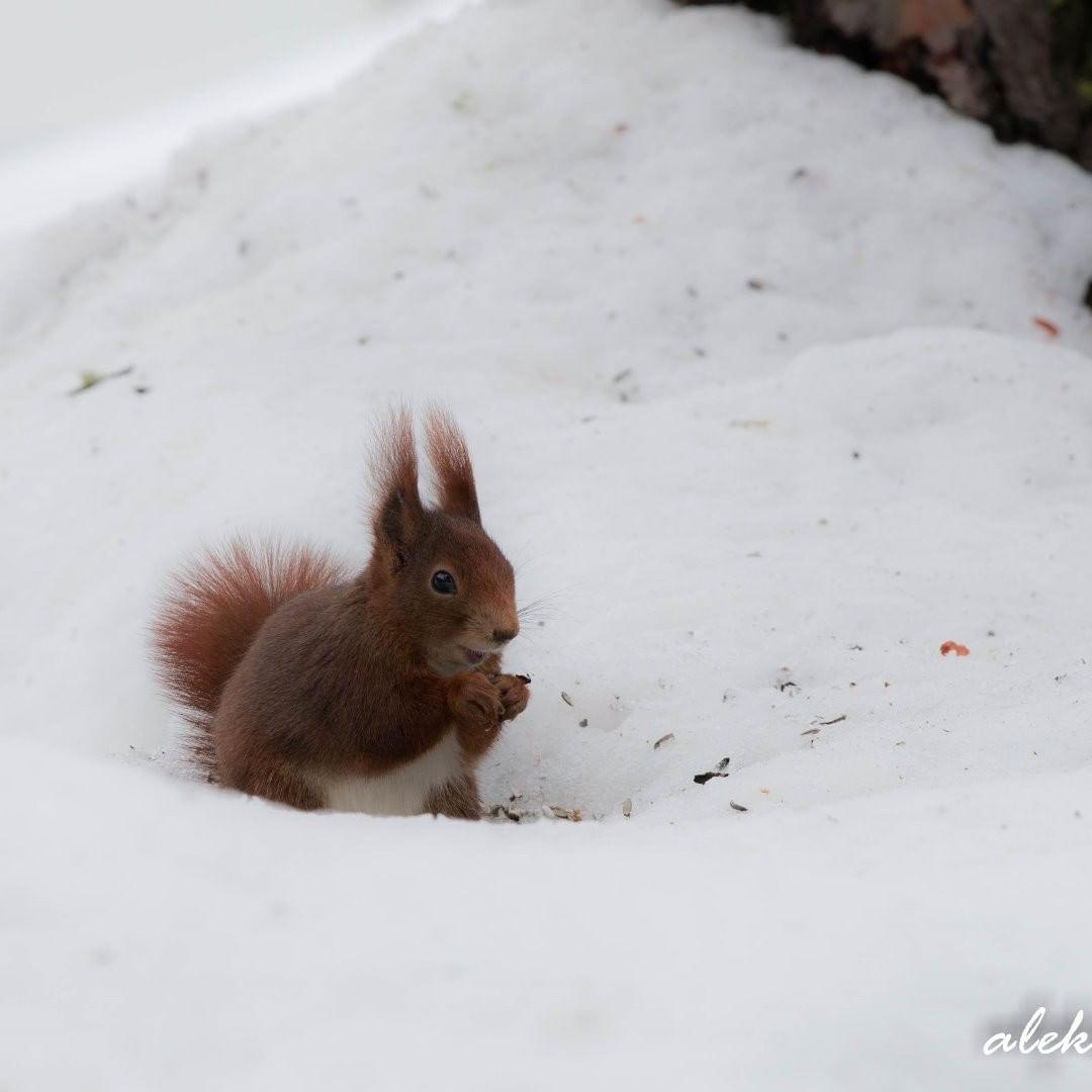Ein letztes Winterbild :-)  eichhörnchen  frühlingserwachen  winter  schnee  w…