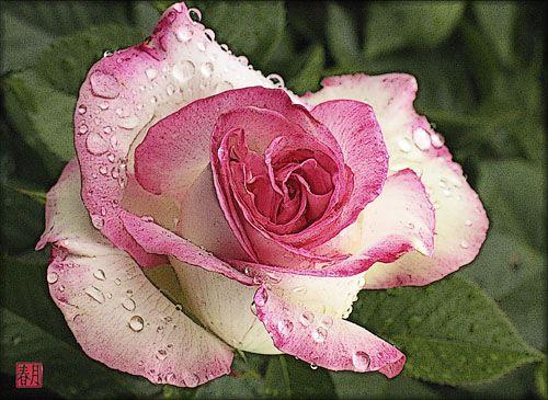 Roses For Helen Julia Spring Moon Fine Art Prints Tea Roses Hybrid Tea Roses Hybrid Tea Roses Care