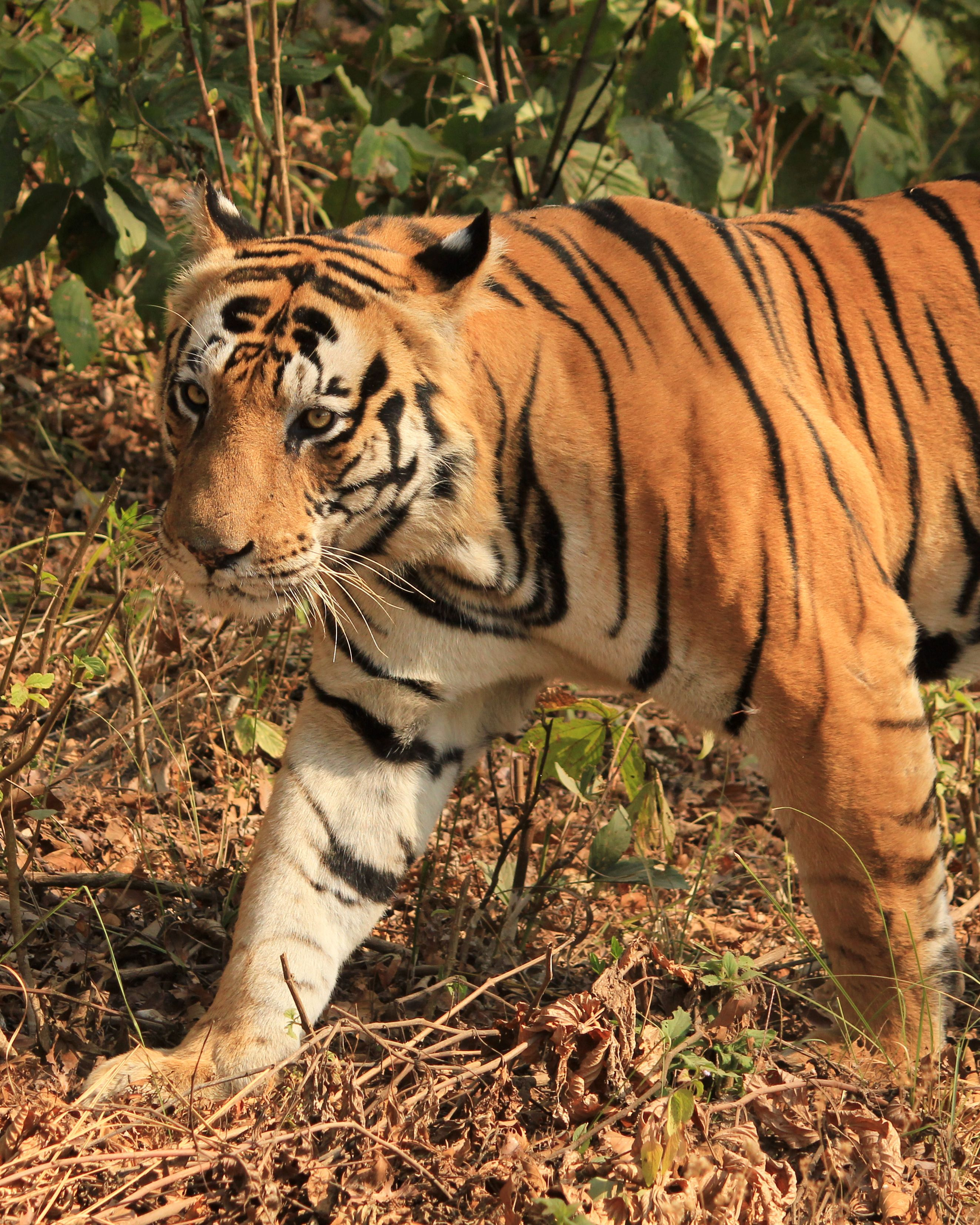 Tiger is at hunting to quench his hungriness at kanha