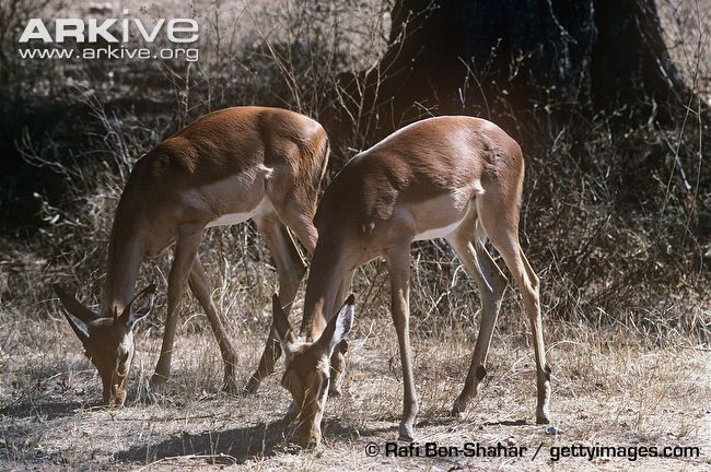 Two impalas eating dry leaves