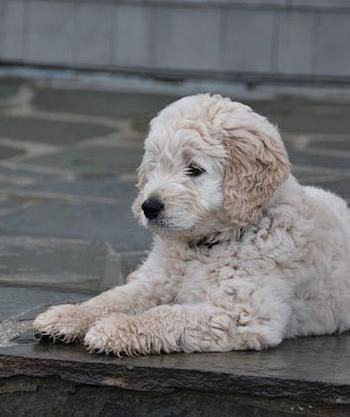 Cream Goldendoodle Puppy Apricot Golden Doodles Best Family Dog