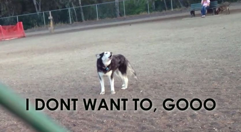Husky Throws Temper Tantrum Because He Doesn T Want To Leave Dog
