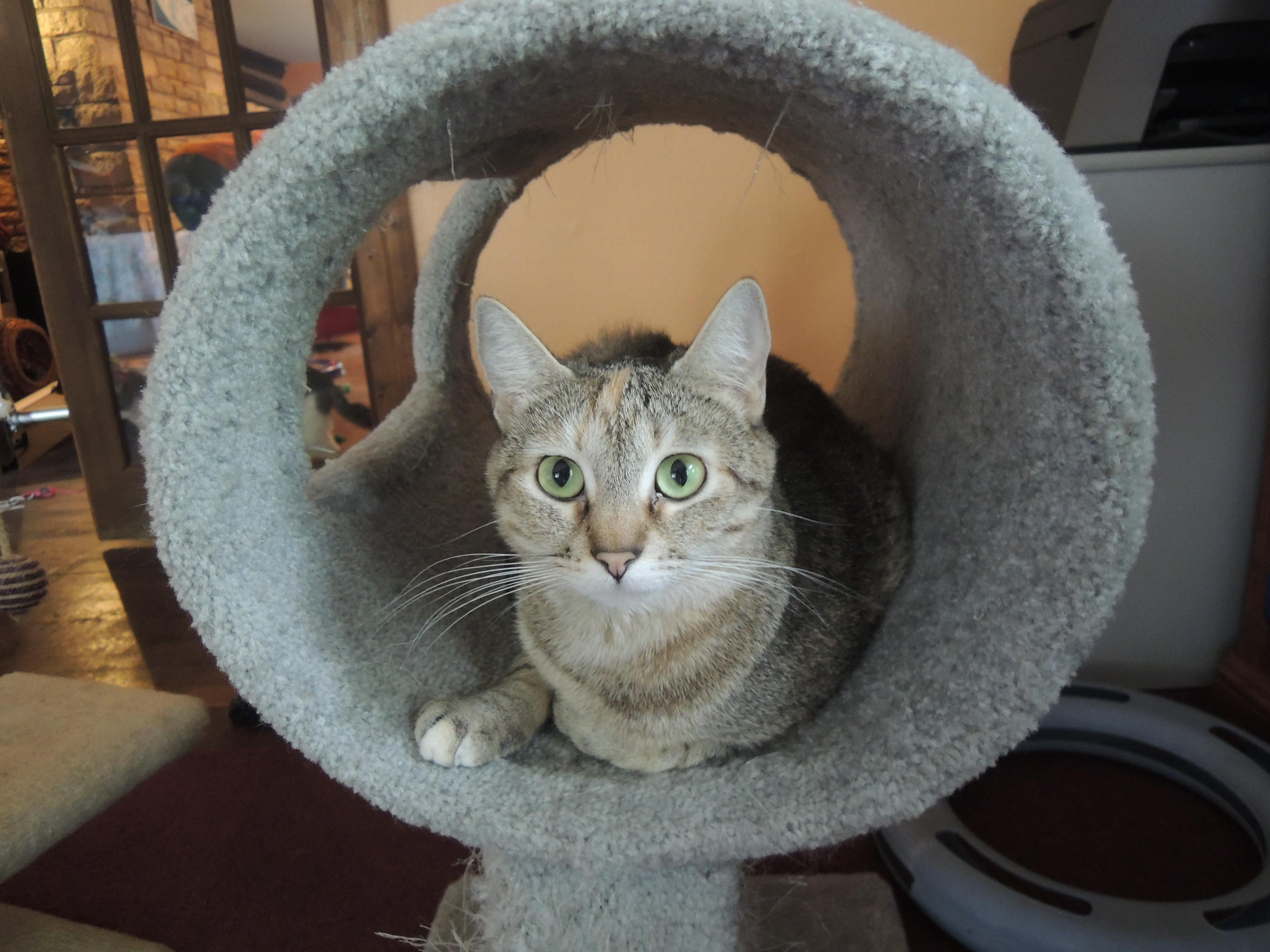 Adopt Kailani on (With images) Cat adoption, Pets, Cats