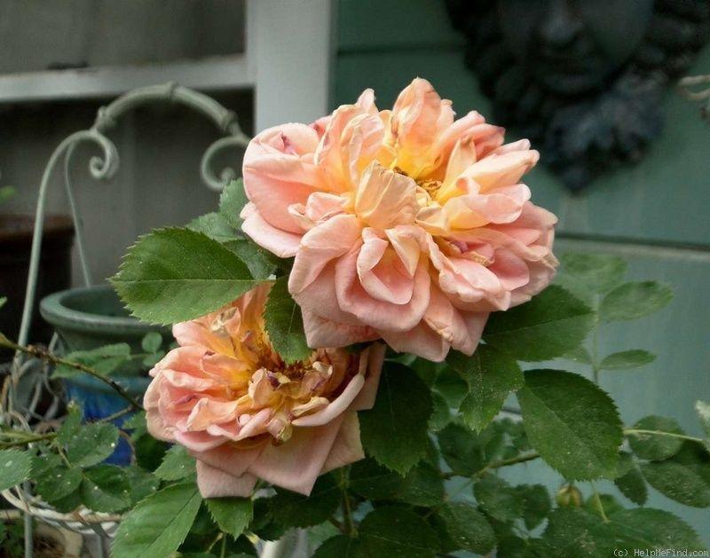 'Soleil d'Or' Rose Photo in 2020 Rose photos, Rose, Photo