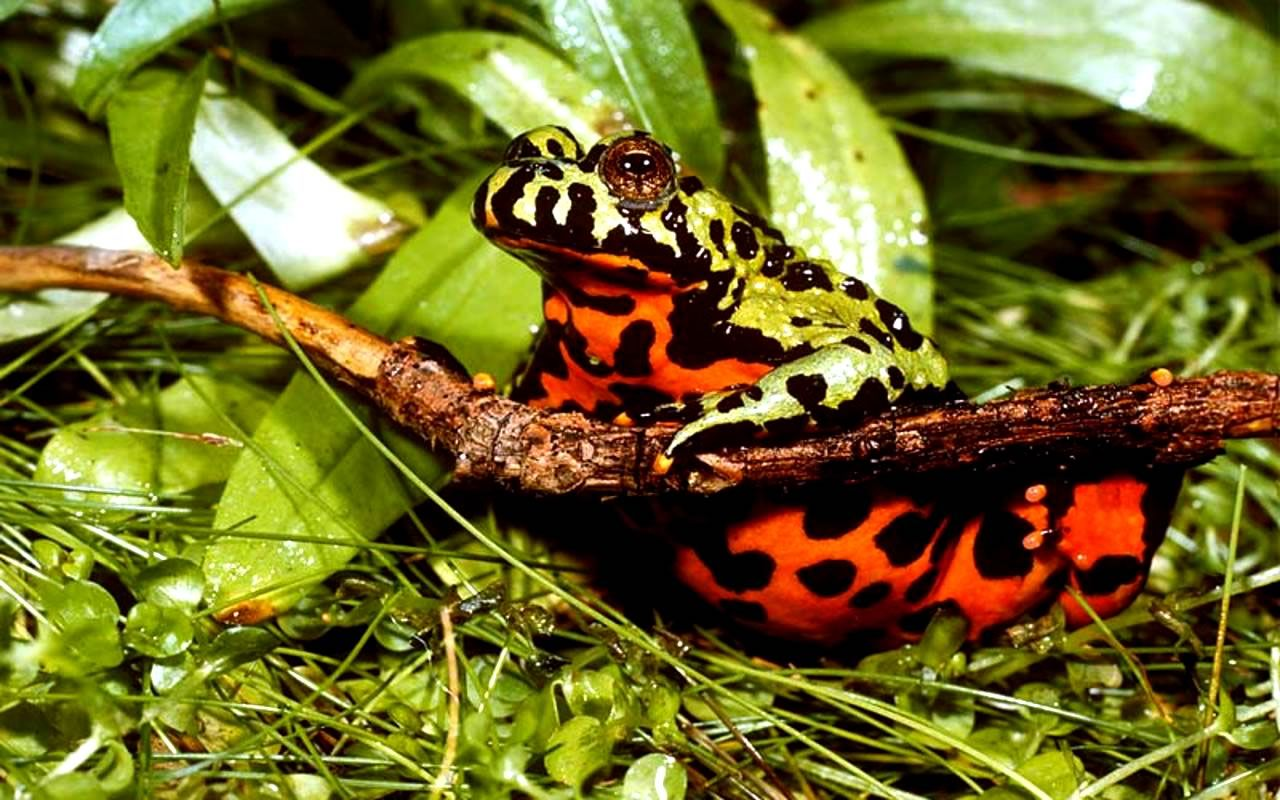 The Featured Creature: colorful | Frogs Lizards Etc  | Toad