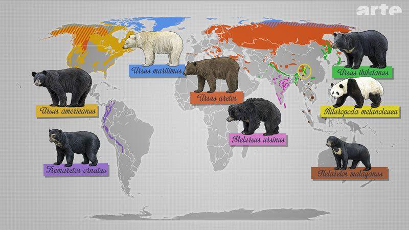 Bears Of The World The Asian Black Bear Bear Species Asian Black Bear Black Bear