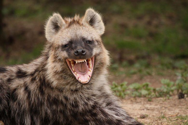 общем, картинки гиена улыбается исключением является территория