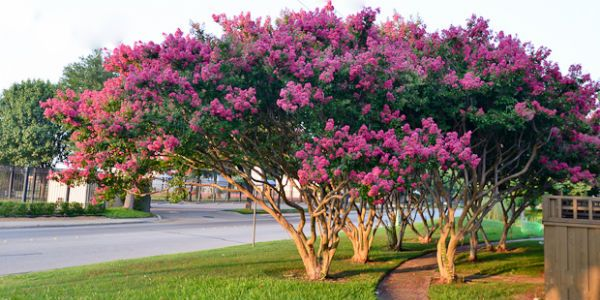 I Crape Myrtle Trees They Are Common In Landscaping Here And Come In A Variety Of Flower Colors I Love The Mult Myrtle Tree Crape Myrtle Crepe Myrtle Trees