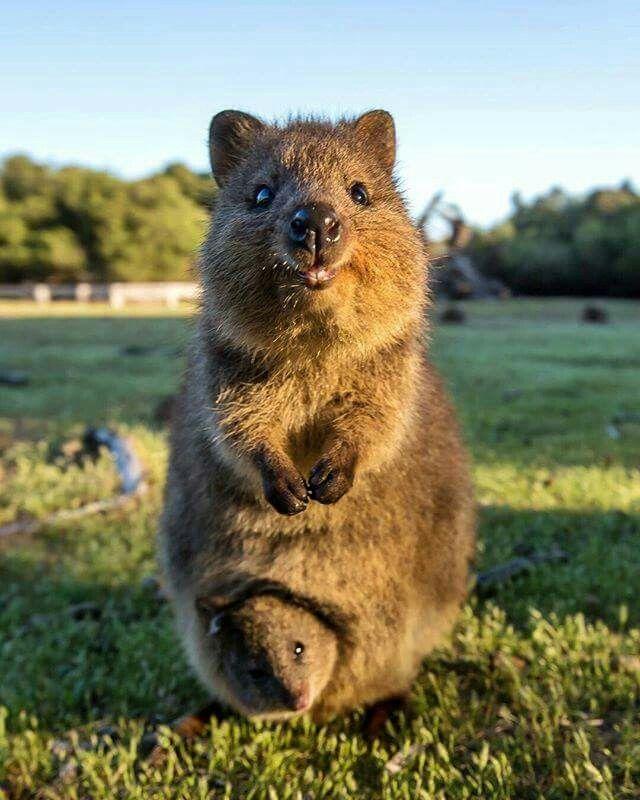 Quokka mother & baby. Rottnest Island, Western Australia ...