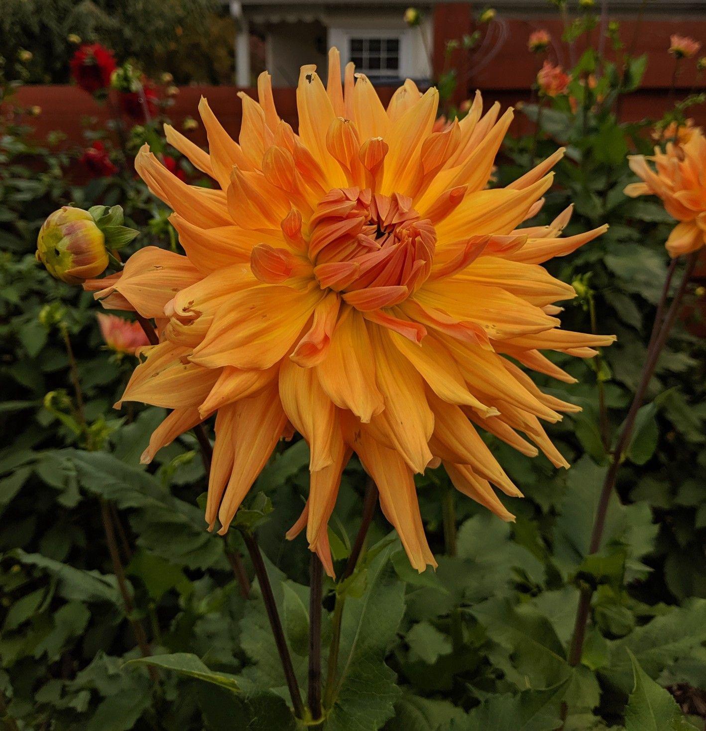 Ac Ben Plants Dahlia Garden