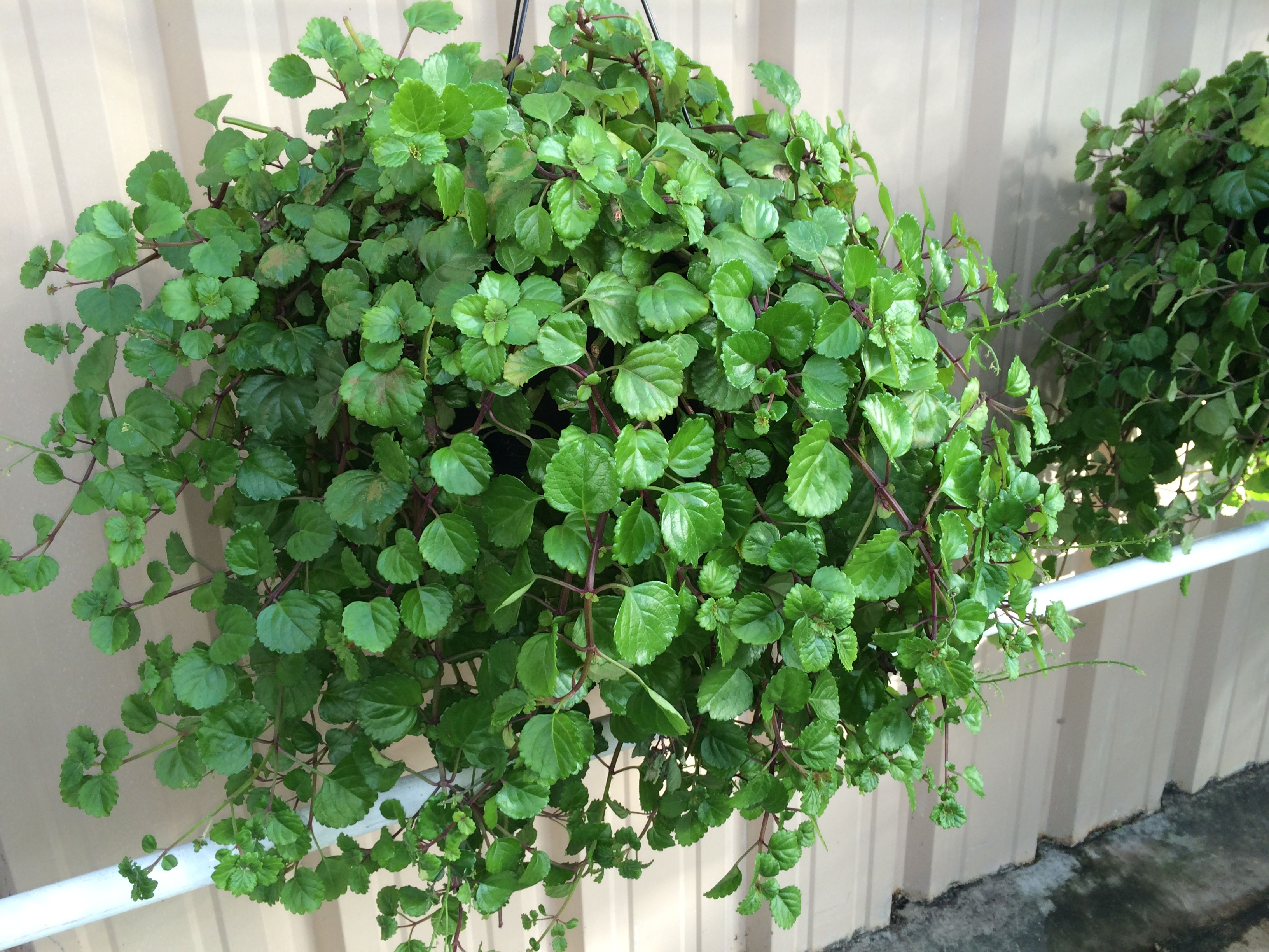 Swedish Ivy An Old Time Favorite Trim It Monthly To Keep It S Rounded Shape The Cuttings Can Be Rooted House Plants Indoor Container Plants Indoor Plants