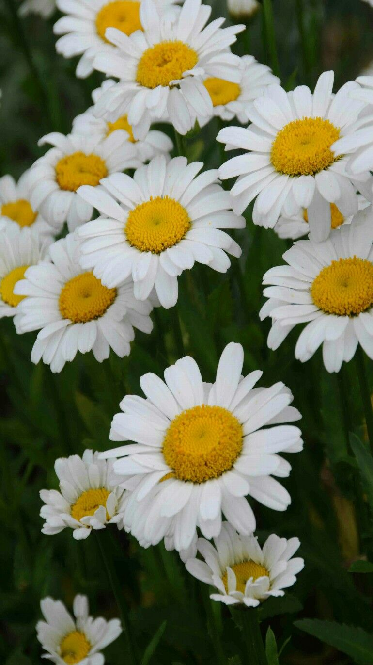 Flowers daisies by heather beautiful flower gardens flowers daisies by heather izmirmasajfo