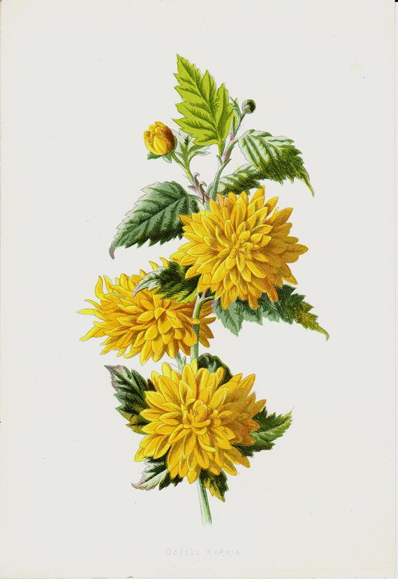 1887 Antique FLOWER Print Color Lithograph Of A Yellow Double