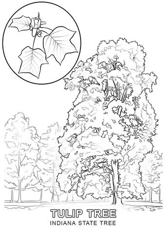 Click To See Printable Version Of Indiana State Tree Coloring Page