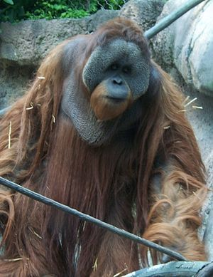 Borneo-Orang-Utan (Pongo pygmaeus)