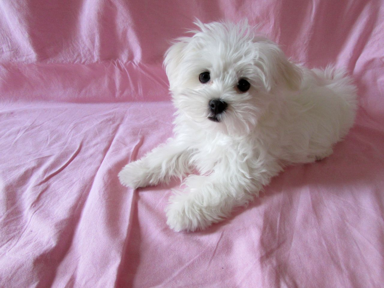 Last Beautiful Girl 700 today!! Puppies, Teacup