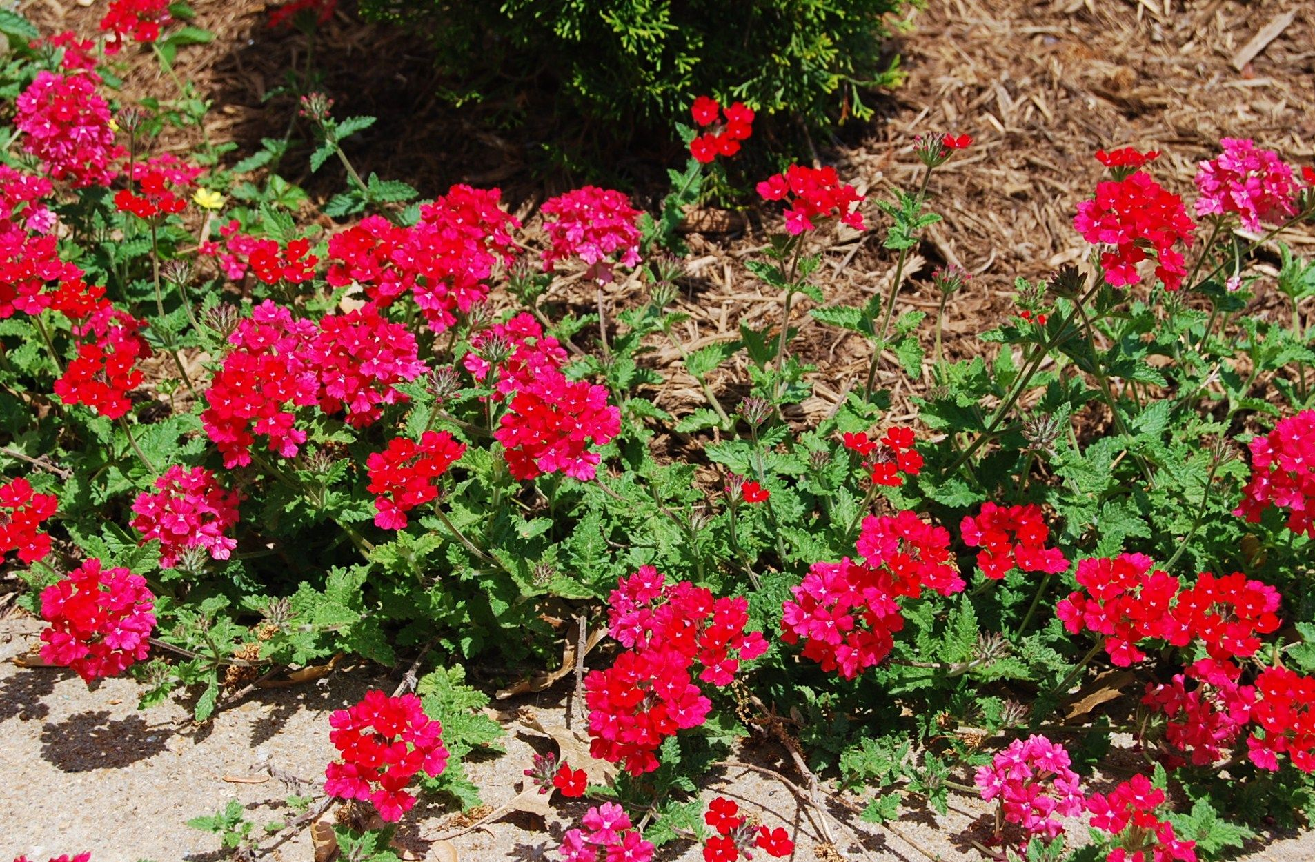 Verbena Homestead Red Blooms Rich Red Flowers All Summer Long