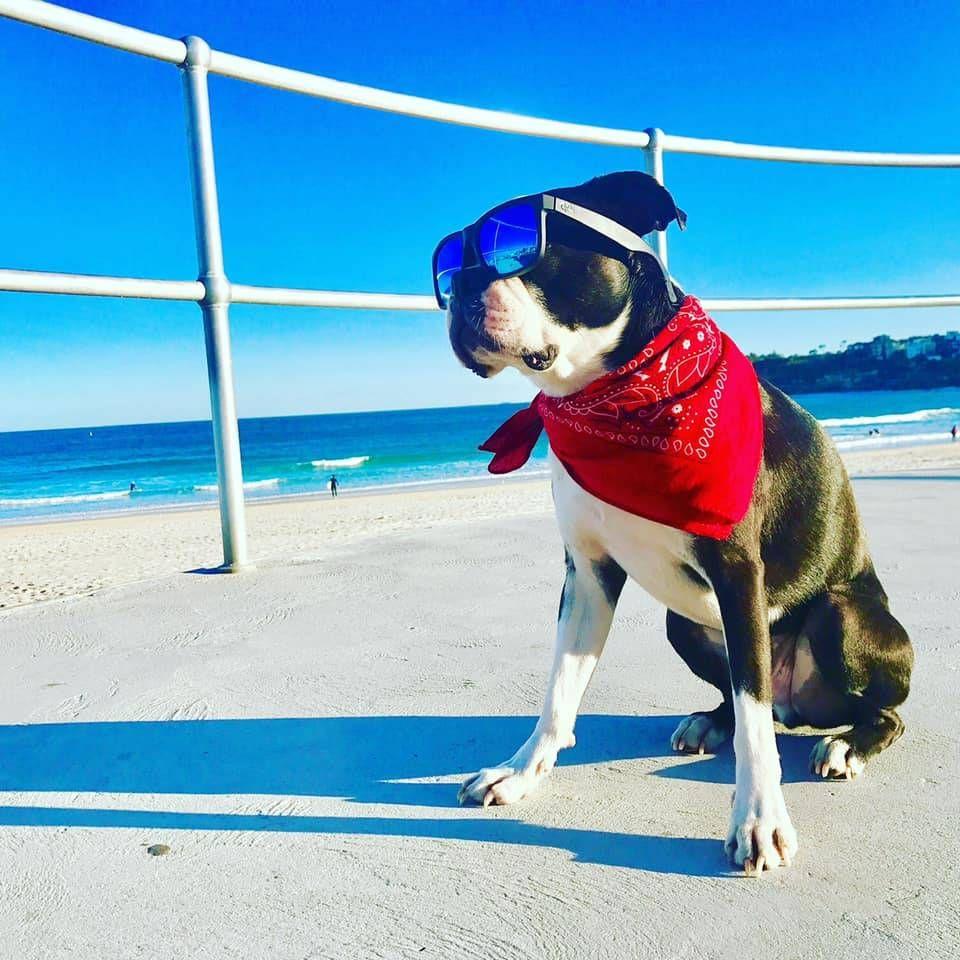 Boston Terrier Dogs On Boston Terrier Dog Boston Terrier Dog