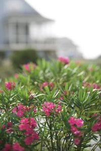 How to Grow Oleander From Clippings