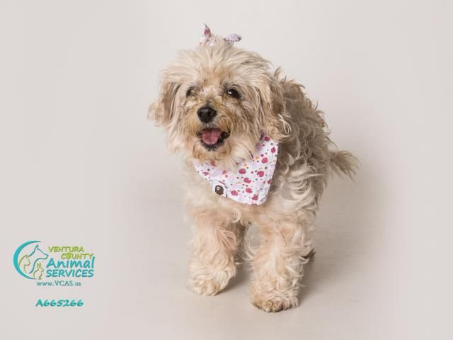 Maltipoo Dog For Adoption In Camarillo Ca Adn 561110 On