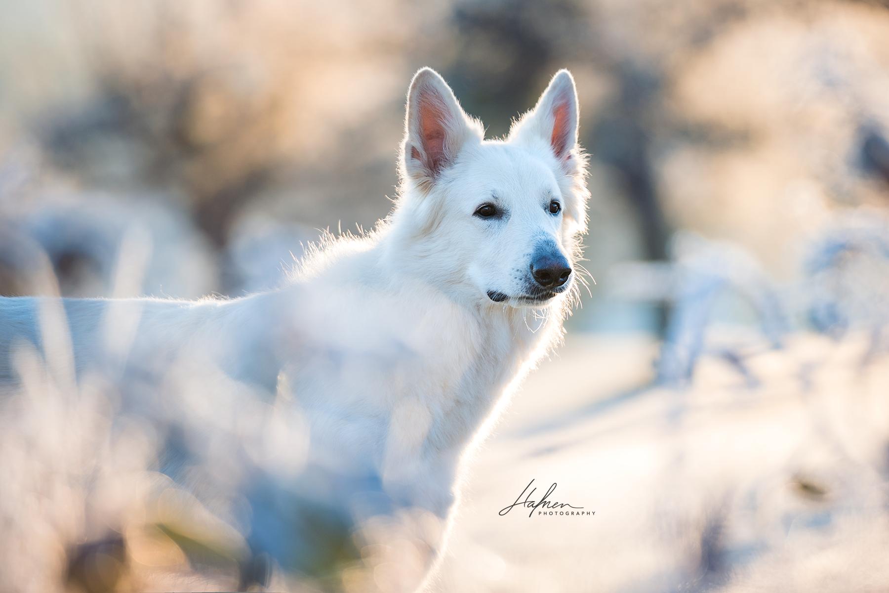 Weisser Schweizer Schaferhund Im Sonnenaufgang Hund Bilder Foto Fotografie Fotoshooting Hundefot Pferde Fotografie Pferdefotografie Hundefotografie