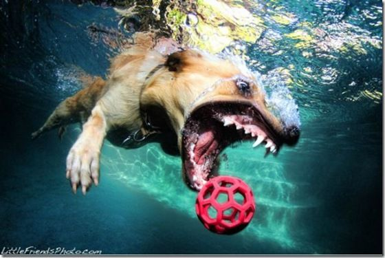 Fetch - A famous photographer in California decided to take a few pictures of his furry friends with a ball and a high resolution underwater camera. This is one result - fierce looking!