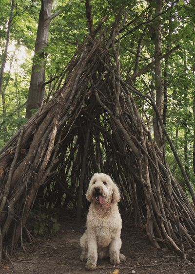 Puppy, teepee, goldendoodle, outdoors