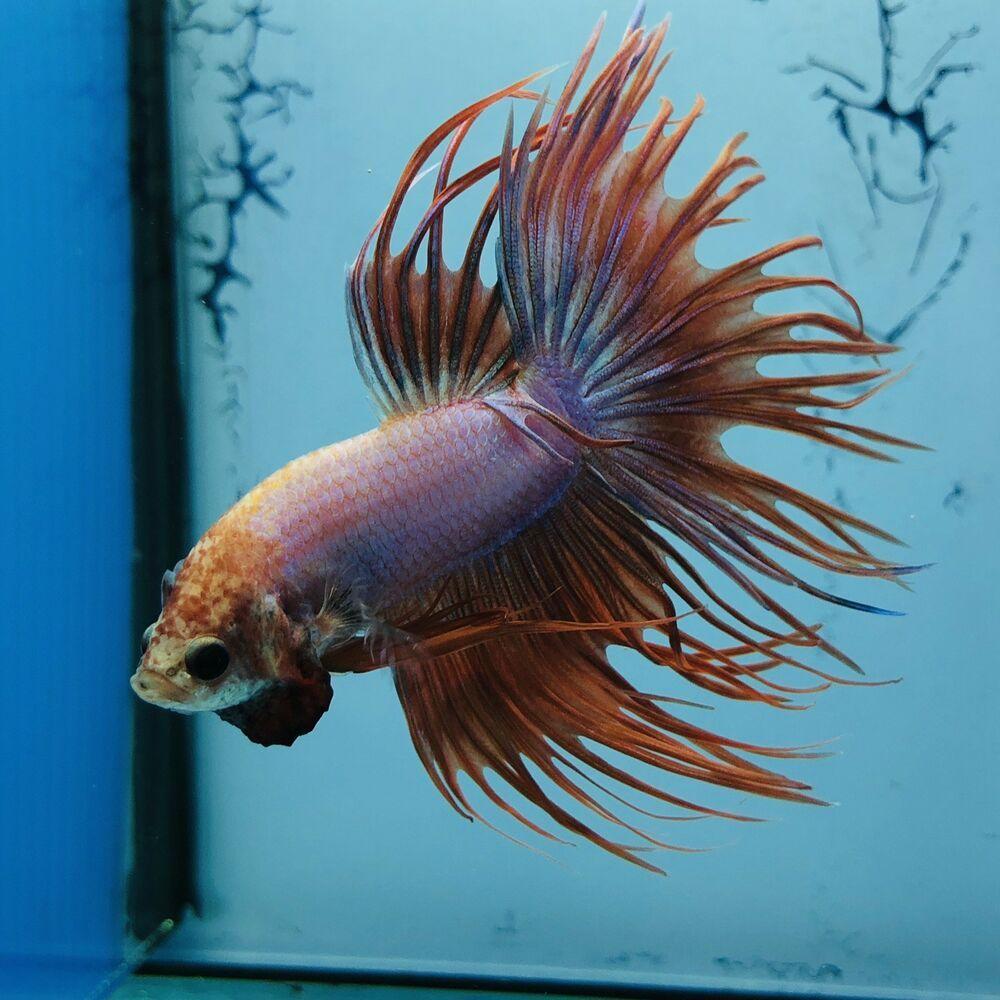 Betta Fish Uk Betta Fish Ideas Bettafish Fishbetta Fancy Betta Splendens Crowntail Wysiwyg Tropical Live Fish Siam Betta Live Fish Beautiful Fish