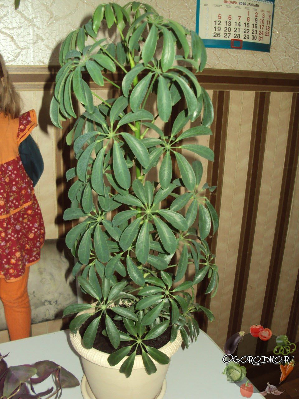 Шефлера – цветок, уход в домашних условиях за которым не ...