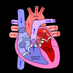 Diagrama de fisiopatología de la diabetes gestacional del corazón
