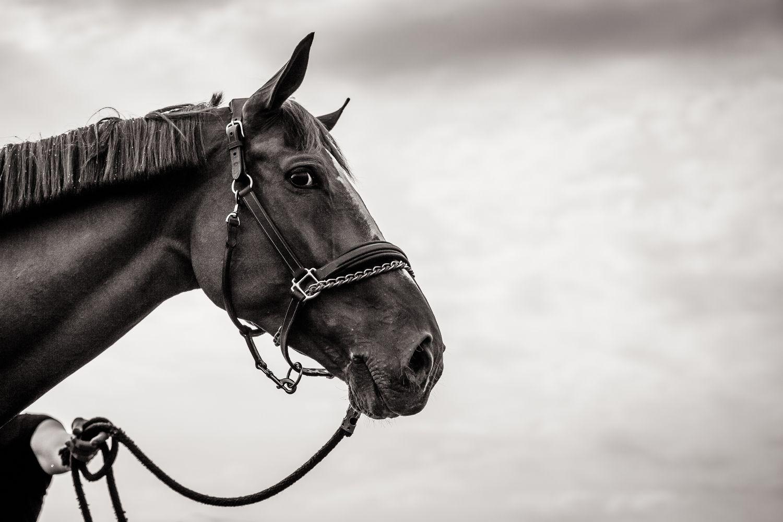 Portrait Of Horse At Chantilly Jumping Cheval Races De Chevaux Photographie Equestre