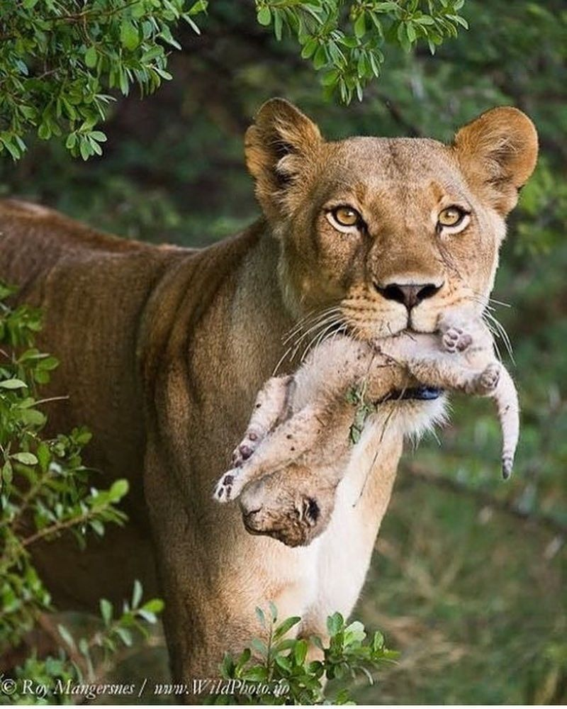Pin by Autumn Television on Big Cats Animals, Cute