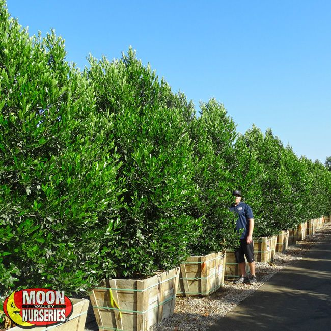 Carolina Cherry-Good screening plant that can be trimmed as a hedge or tree.