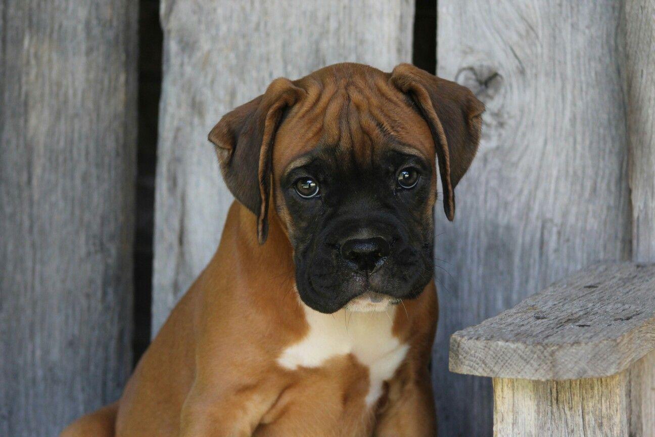 Brindle Boxer puppy. Sadies twin!! Beauty.Fashion