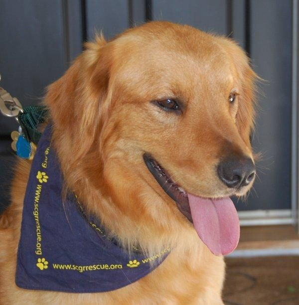 T Rex From Southern California Golden Retriever Rescue Is Looking