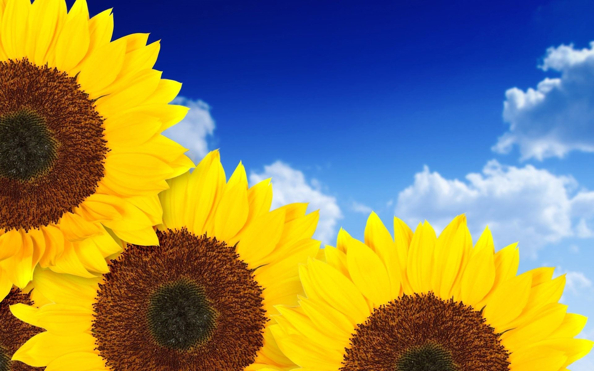 Res: 1920x1200, Pure Yellow Sunflowers Wallpaper  768x480 #sunflowerwallpaper Res: 1920x1200, Pure Yellow Sunflowers Wallpaper  768x480 #sunflowerwallpaper