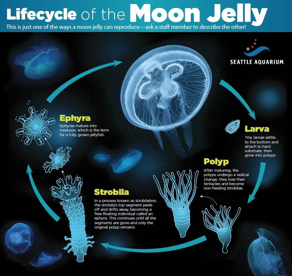 Jellyfish lifecycle   Science   Pinterest   Jellyfish