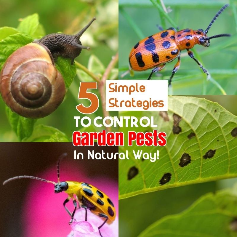 Safe And Effective Ways Of Natural Pest Control Natural Pest Control Pest Control Pests