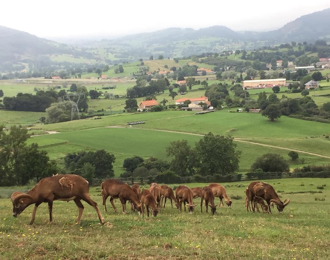 Da gusto ver a toda la familia de #muflones pastando juntos por fauna ibérica. Recuerda aminorar la velocidad y no bajar del 🚗